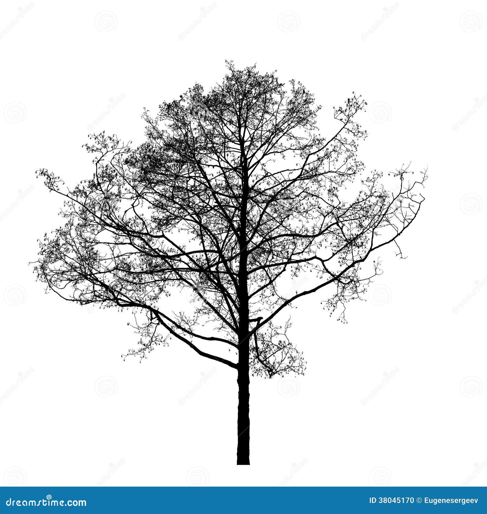 Arbre d 39 aulne sans feuilles noir d 39 isolement sur le blanc - Arbres sans feuilles ...