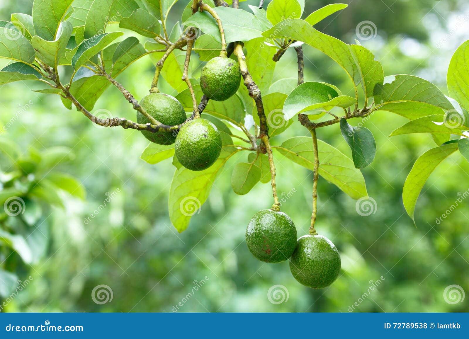 arbre d'avocat photo stock. image du avocat, botanique - 72789538