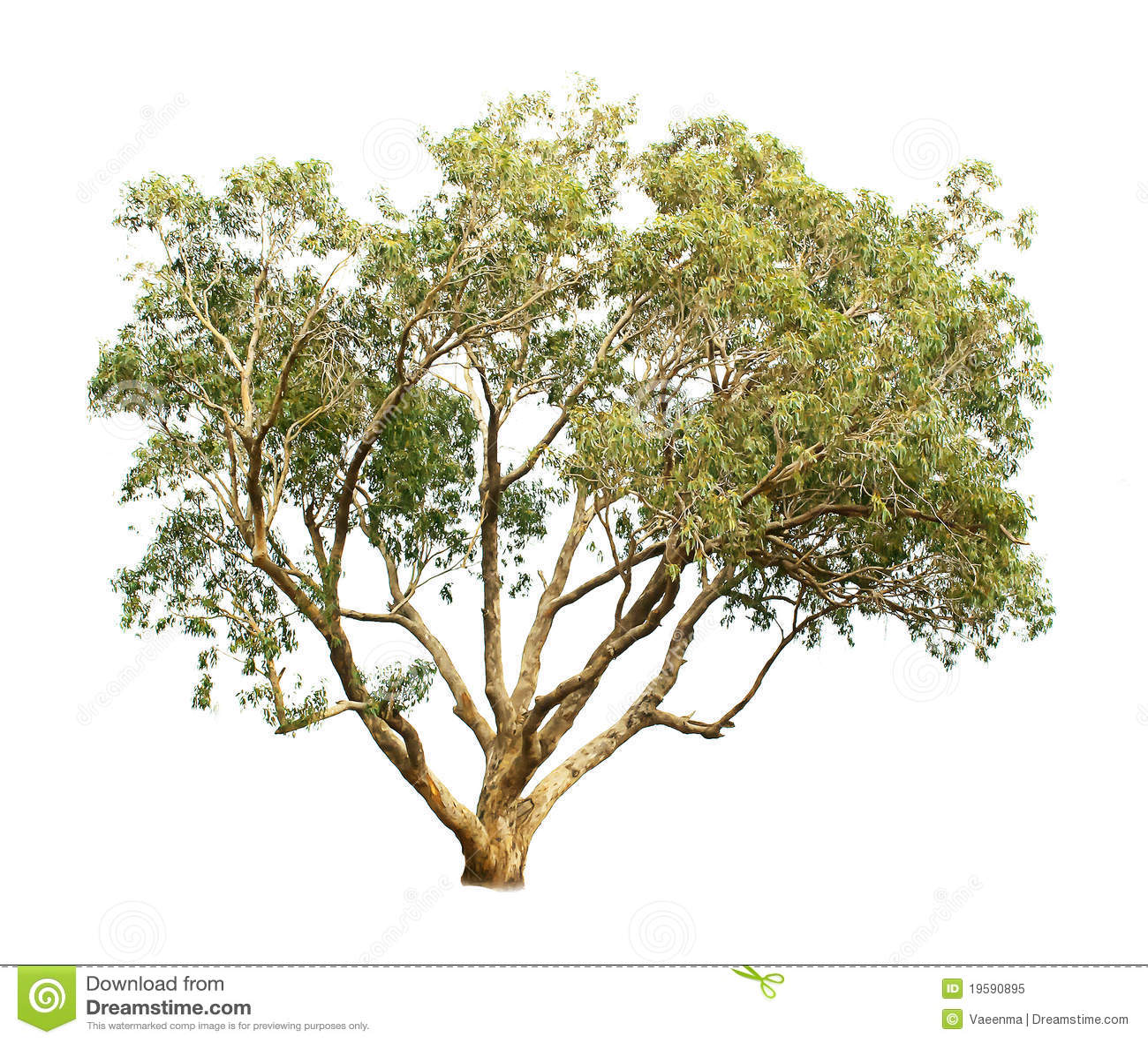 Arbre d eucalyptus