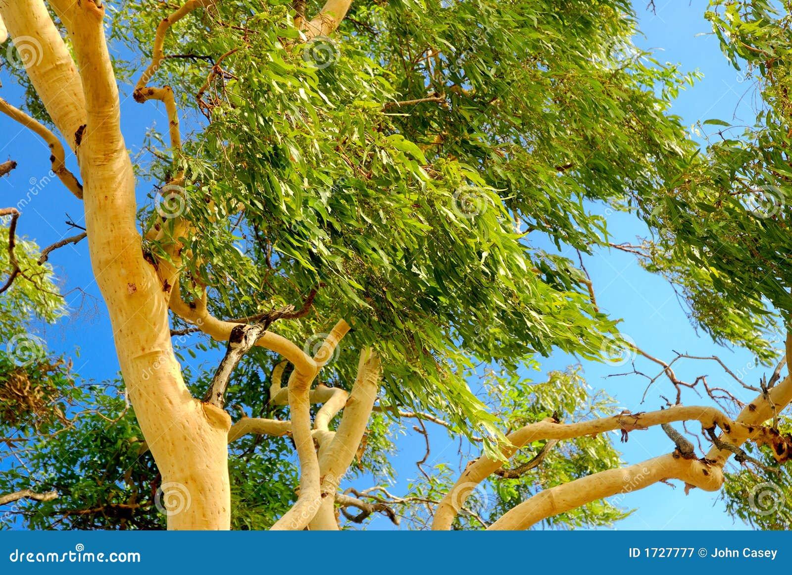 arbre d 39 eucalyptus australien photographie stock libre de droits image 1727777. Black Bedroom Furniture Sets. Home Design Ideas