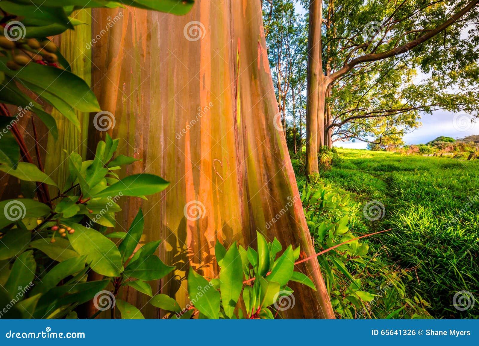 Arbre d eucalyptus peint dans Maui