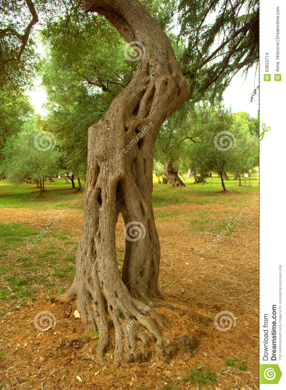 Arbre d 39 eucalyptus pittoresque photo stock image 63853714 for Jardin pittoresque