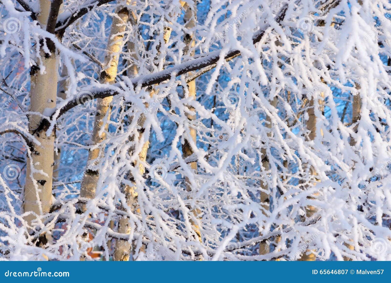 Arbre d hiver d un bouleau avec la neige et la gelée blanches