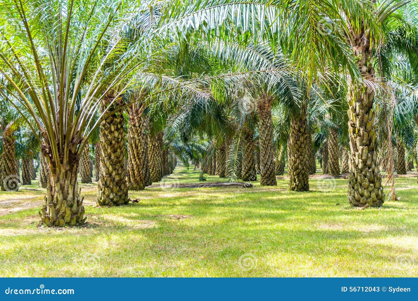 Arbre d 39 huile de palme image stock image du vert paume 56712043 - Huile arbre a the ...