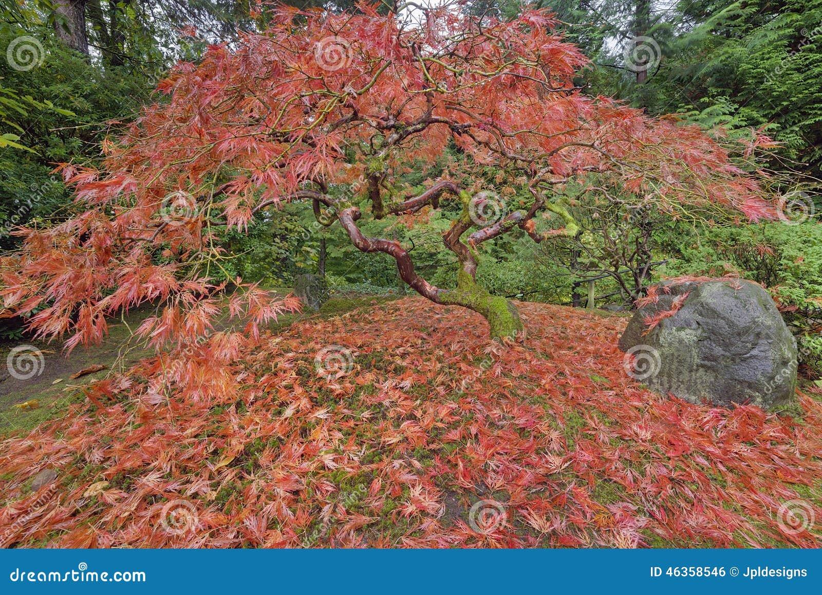 Arbre d 39 rable japonais dans le jardin japonais autumn season de portland photo stock image - Arbre pour jardin japonais ...