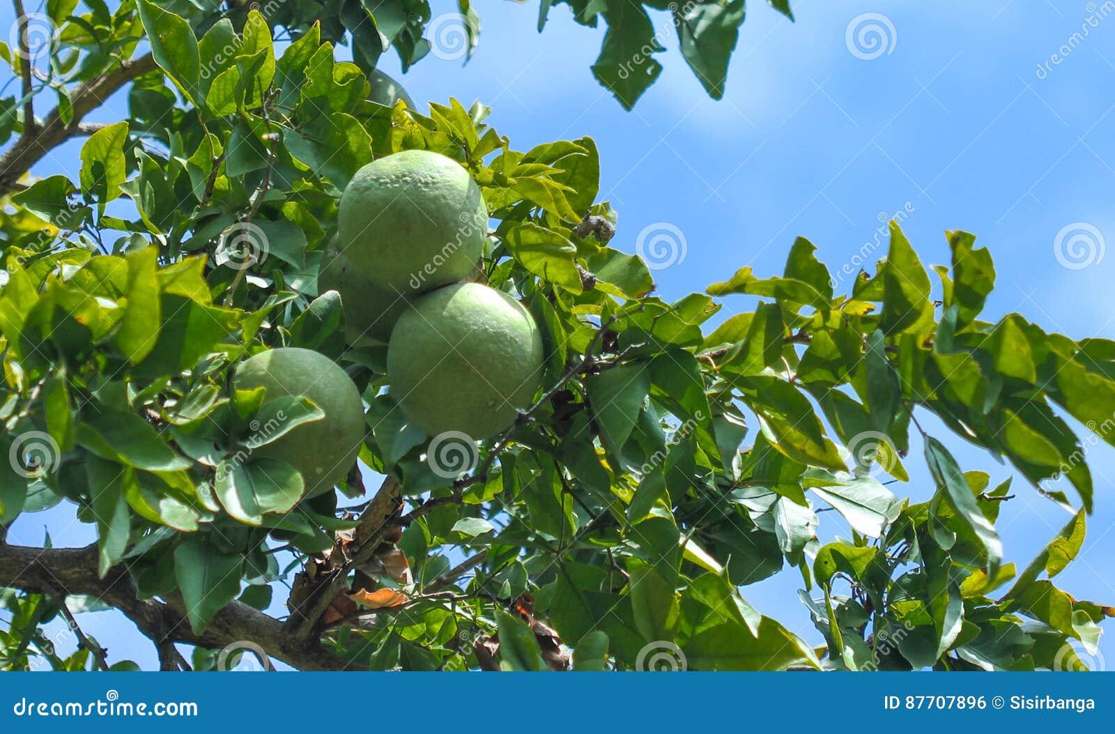 Arbre de Bael avec des fruits