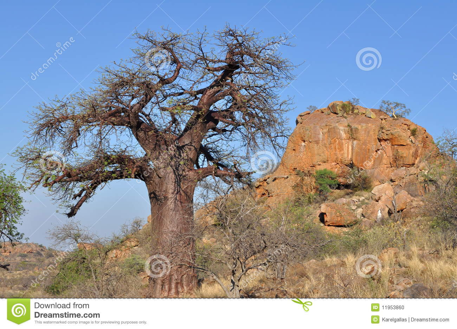 Arbre de baobab dans l horizontal africain