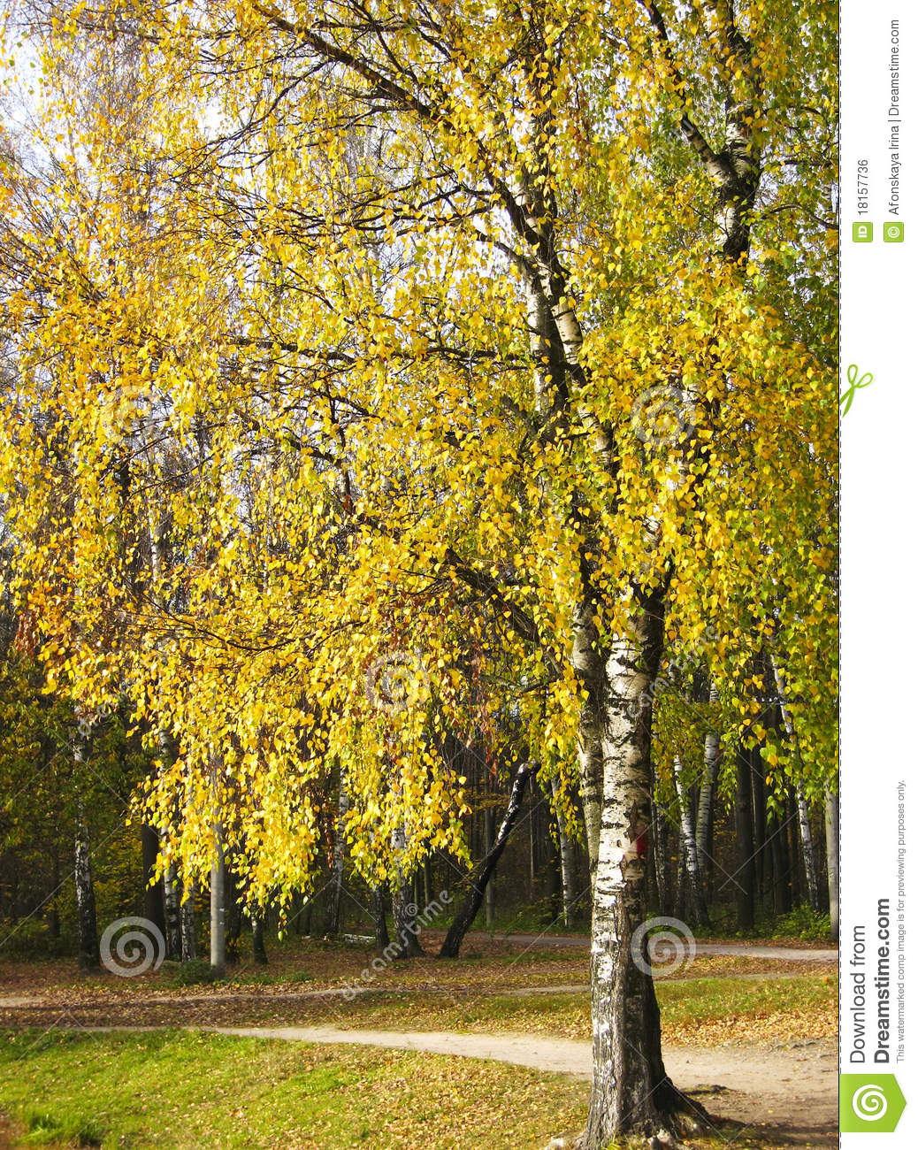 arbre de bouleau jaune photo stock image du bois saison 18157736. Black Bedroom Furniture Sets. Home Design Ideas