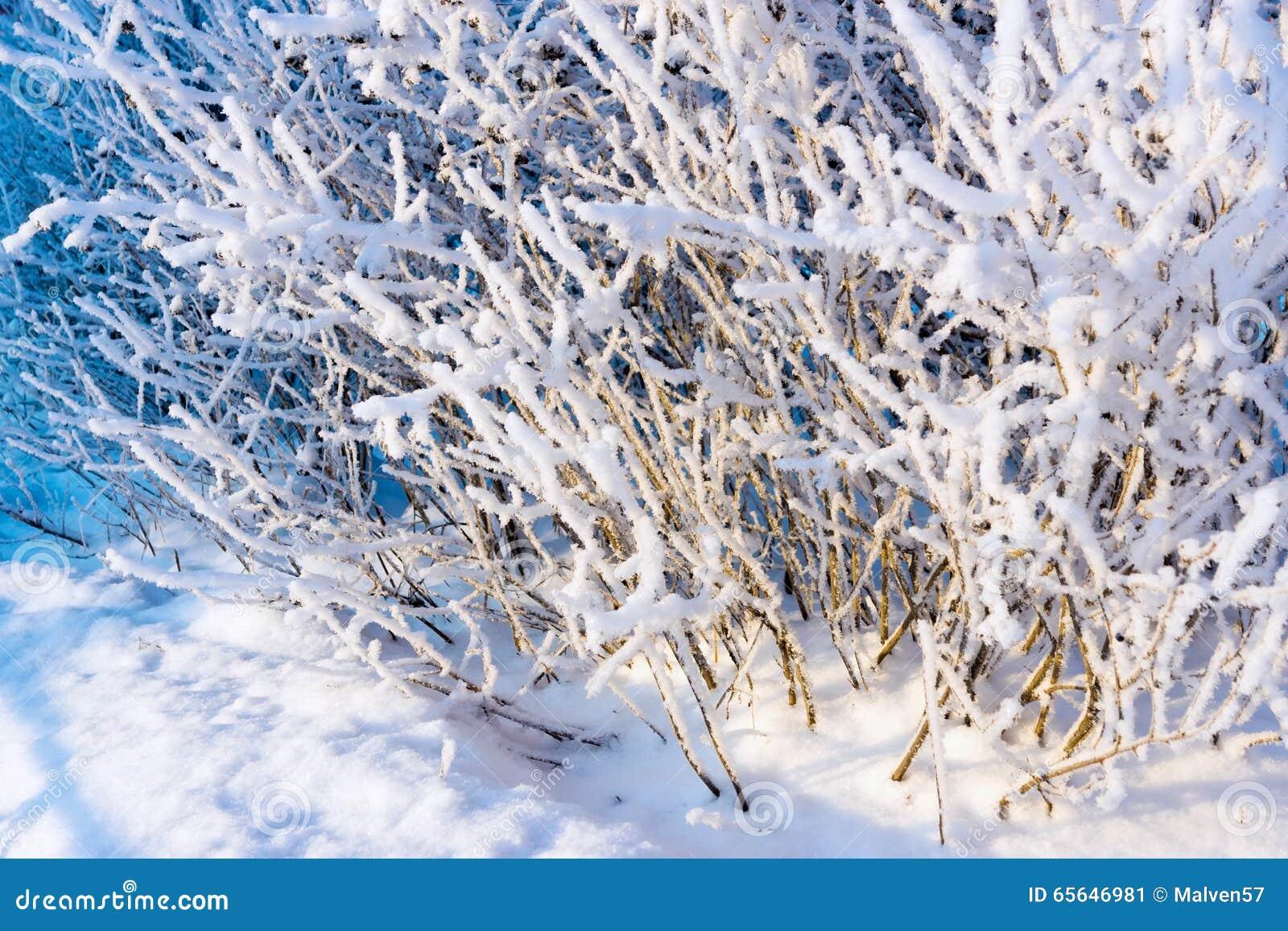 Arbre de branches avec la neige et les cristaux blancs pelucheux de la gelée