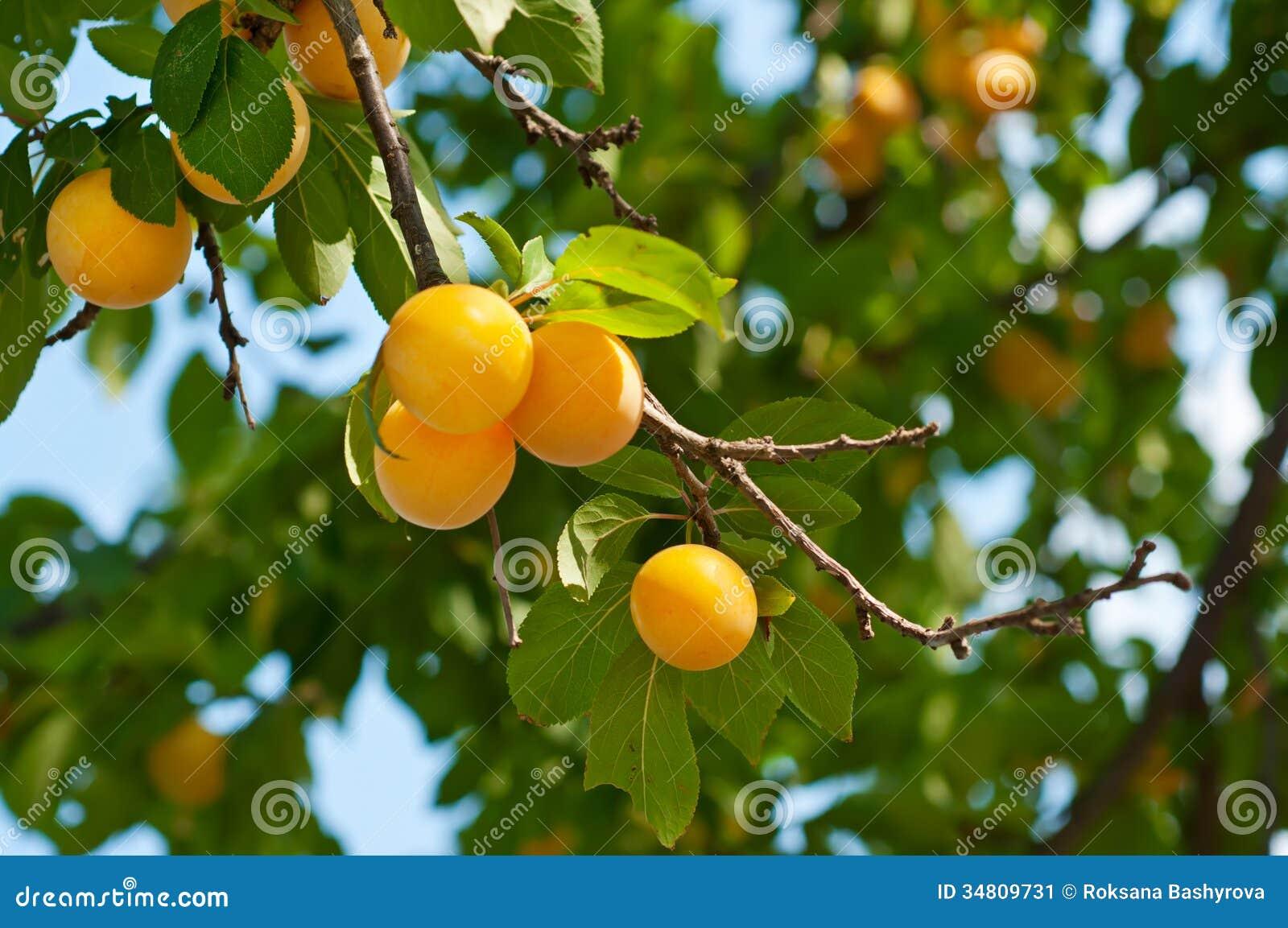 arbre de cerise prune avec des fruits image stock image 34809731. Black Bedroom Furniture Sets. Home Design Ideas