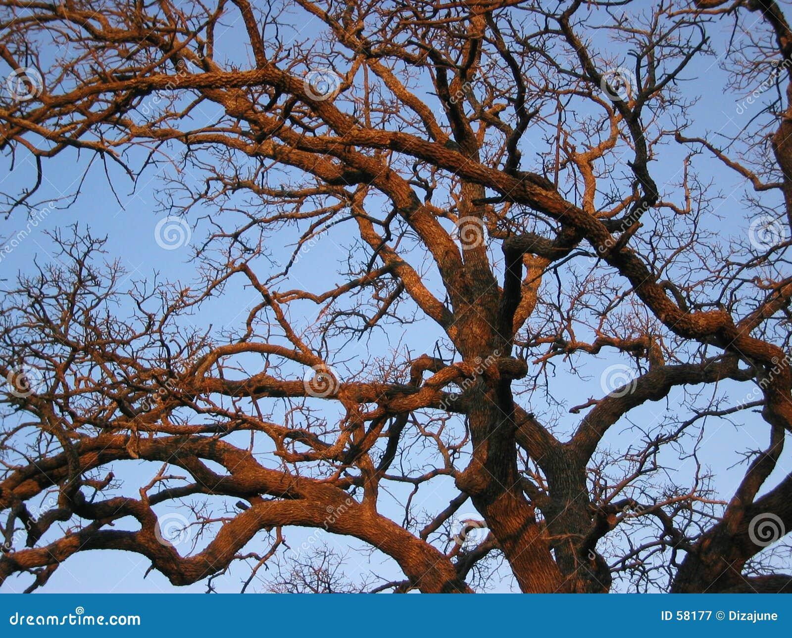 Arbre de chêne de coucher du soleil