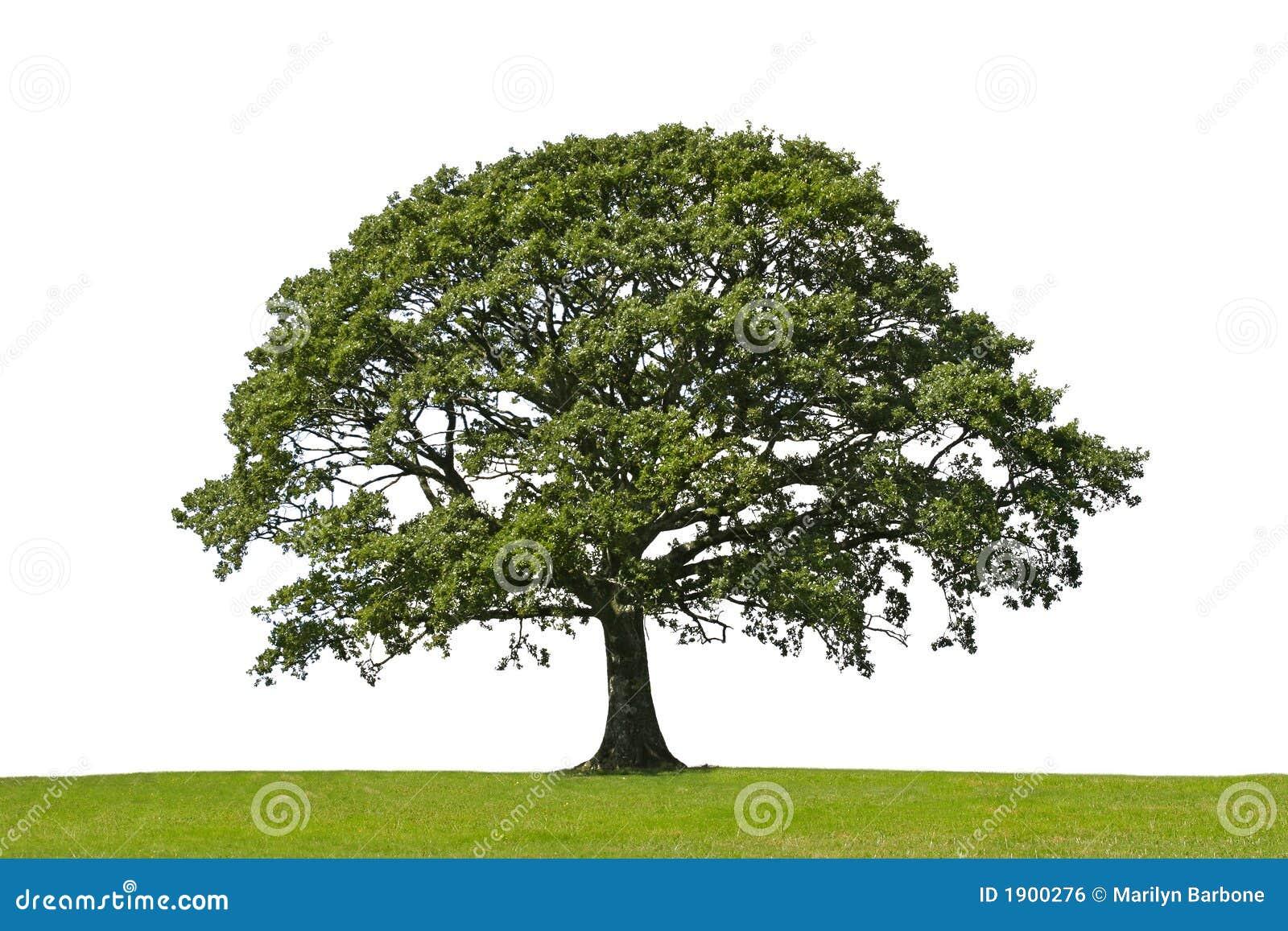 Arbre de chêne, symbole de force