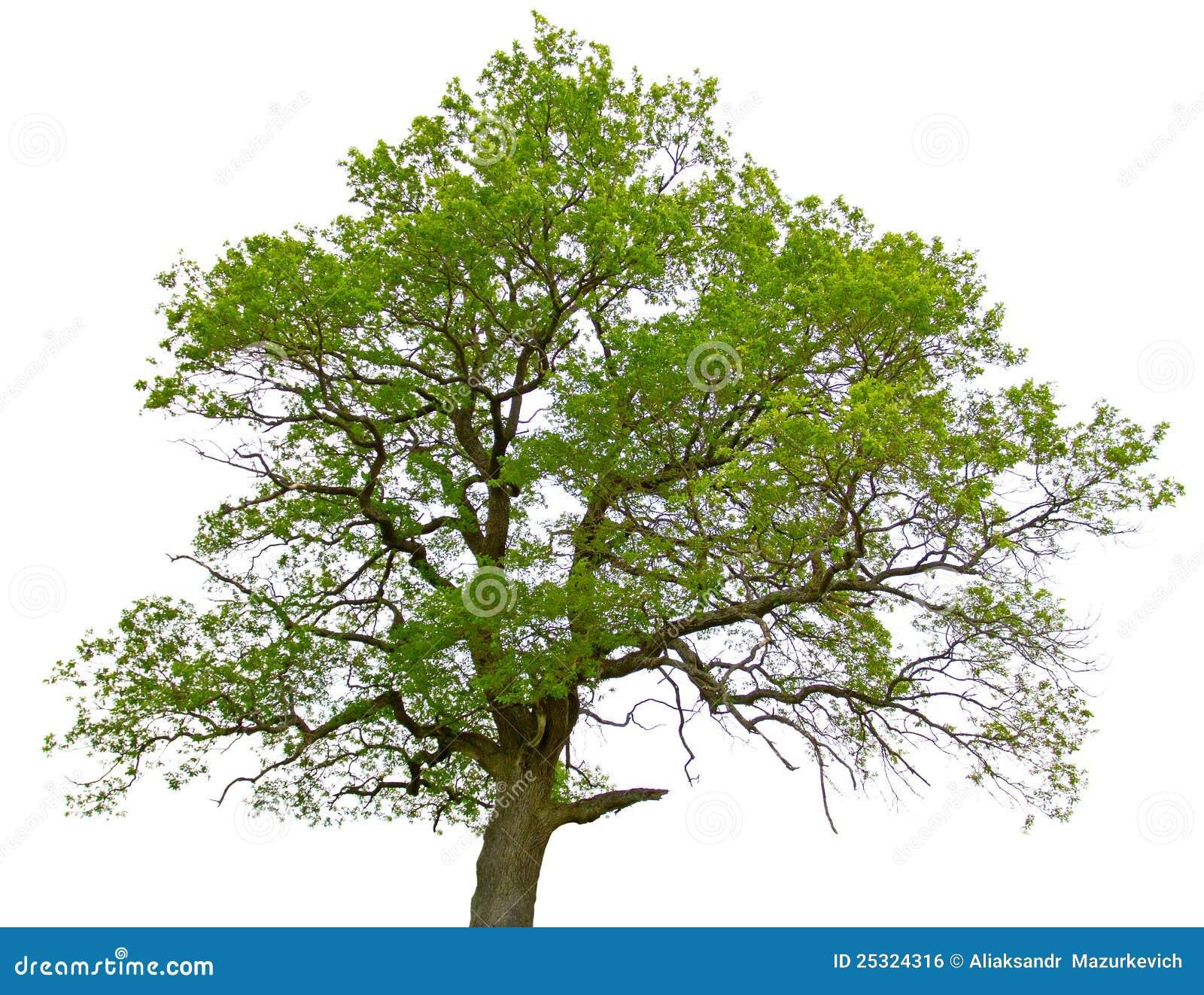 Arbre de ch ne vert d 39 isolement photo stock image du - Maladie du chene vert arbre ...
