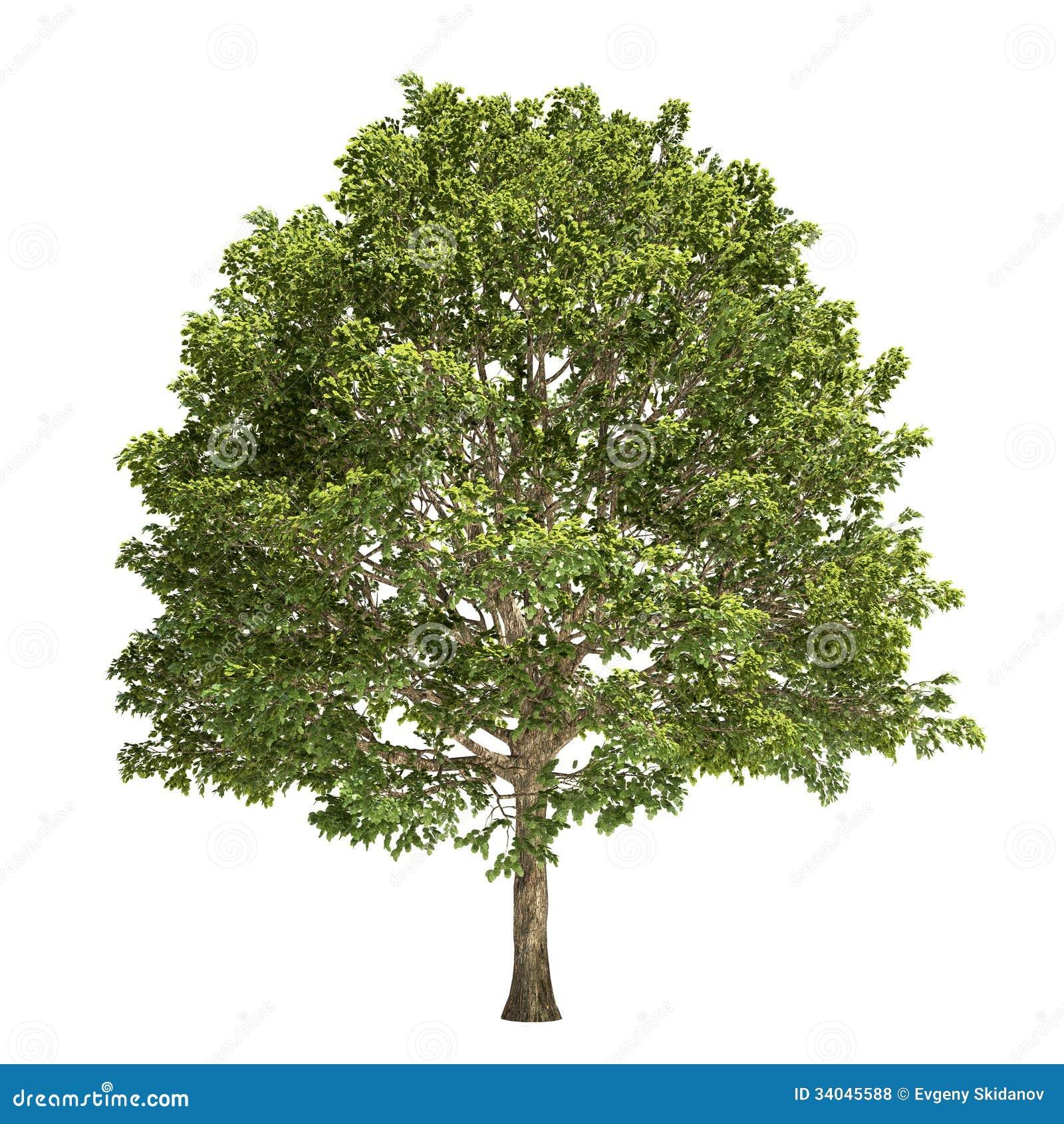 arbre de charme d 39 isolement illustration stock illustration du ramassage feuillu 34045588. Black Bedroom Furniture Sets. Home Design Ideas