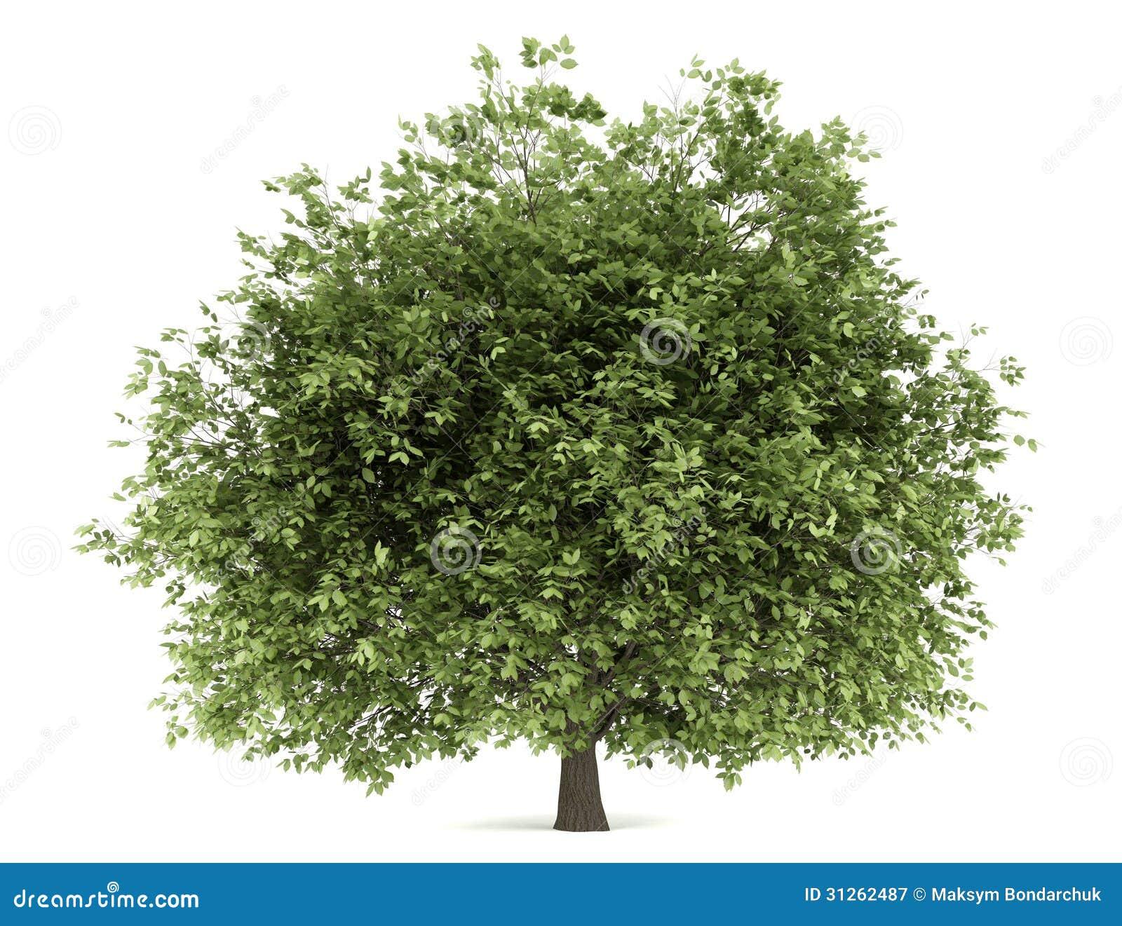 arbre de charme d 39 isolement sur le blanc photographie stock libre de droits image 31262487. Black Bedroom Furniture Sets. Home Design Ideas