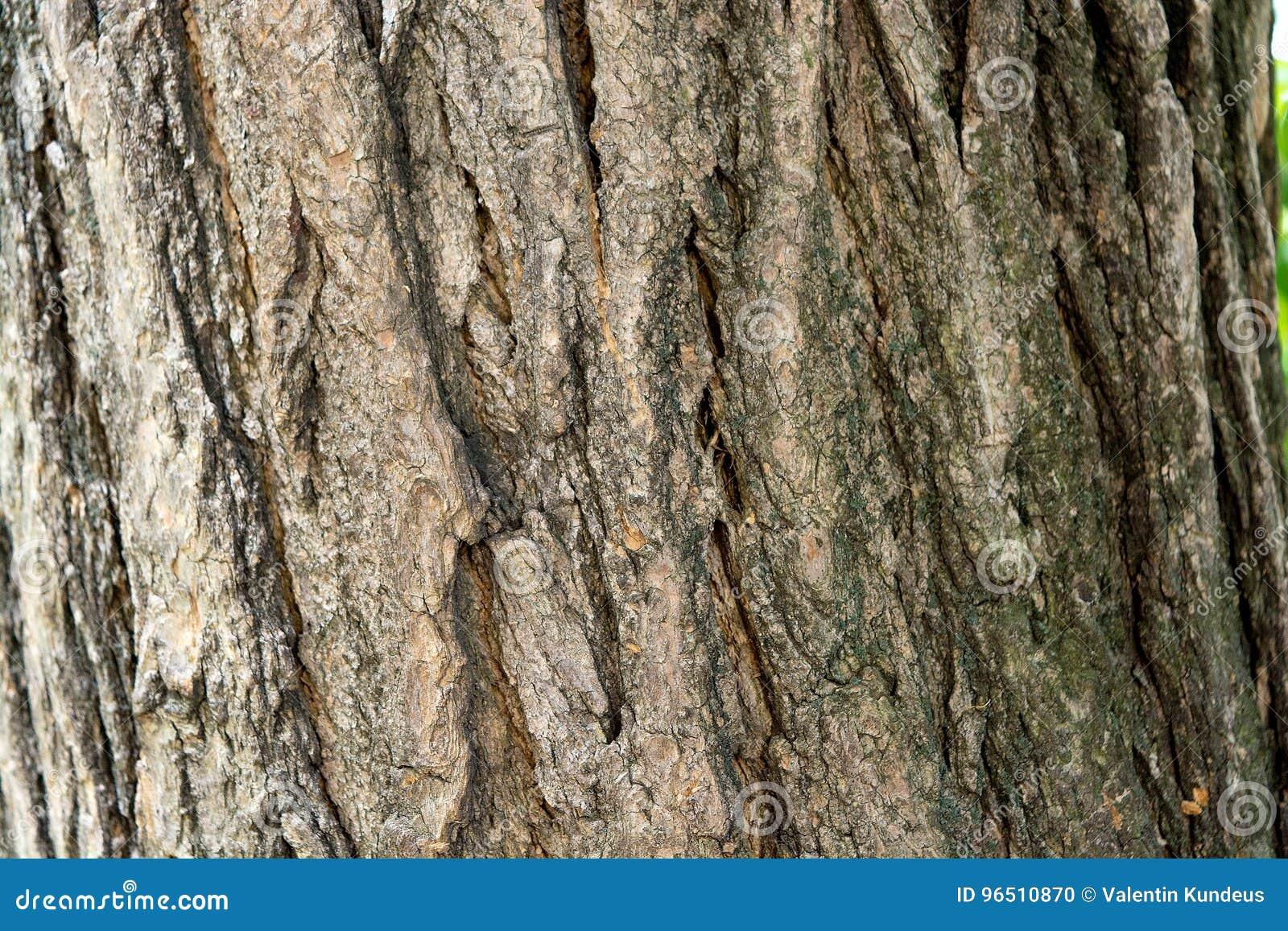 arbre de cognassier du japon de sophora Écorce d'arbre tronc d'arbre