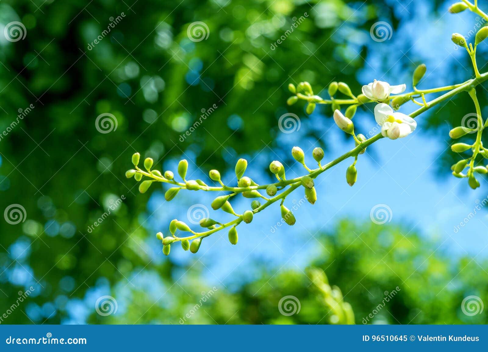 arbre de cognassier du japon de sophora lames d'arbre acacia fleurs