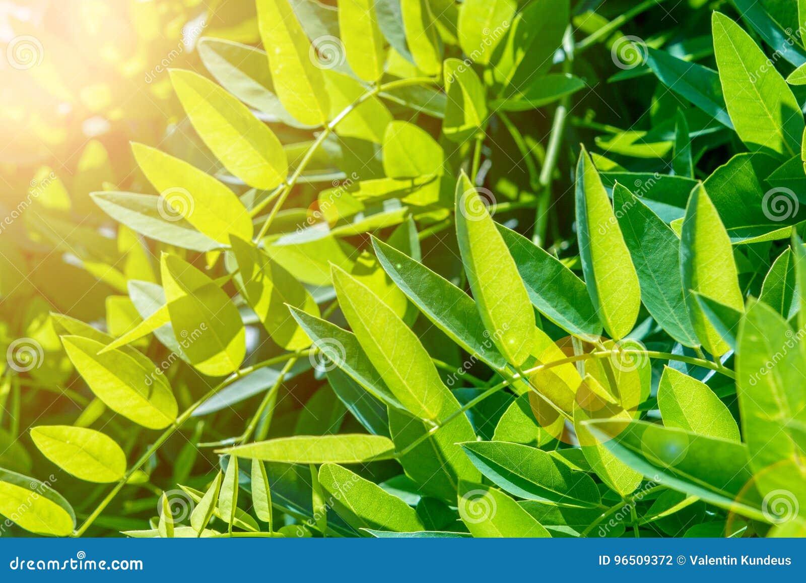 arbre de cognassier du japon de sophora lames d'arbre acacia fond