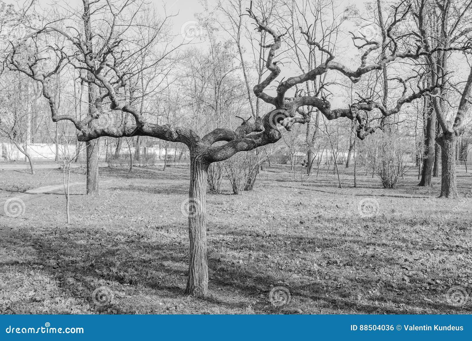 arbre de cognassier du japon de sophora sans feuilles photo stock