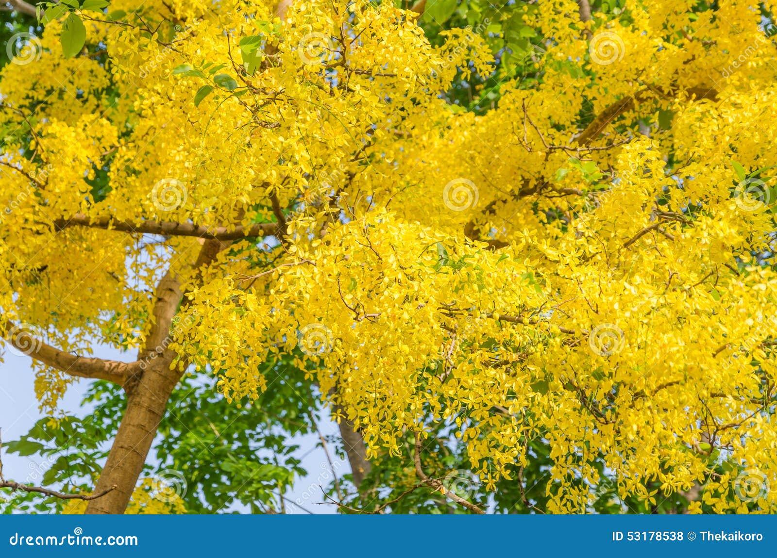 arbre de douche d 39 or belle fleur jaune photo stock image du normal d coration 53178538. Black Bedroom Furniture Sets. Home Design Ideas