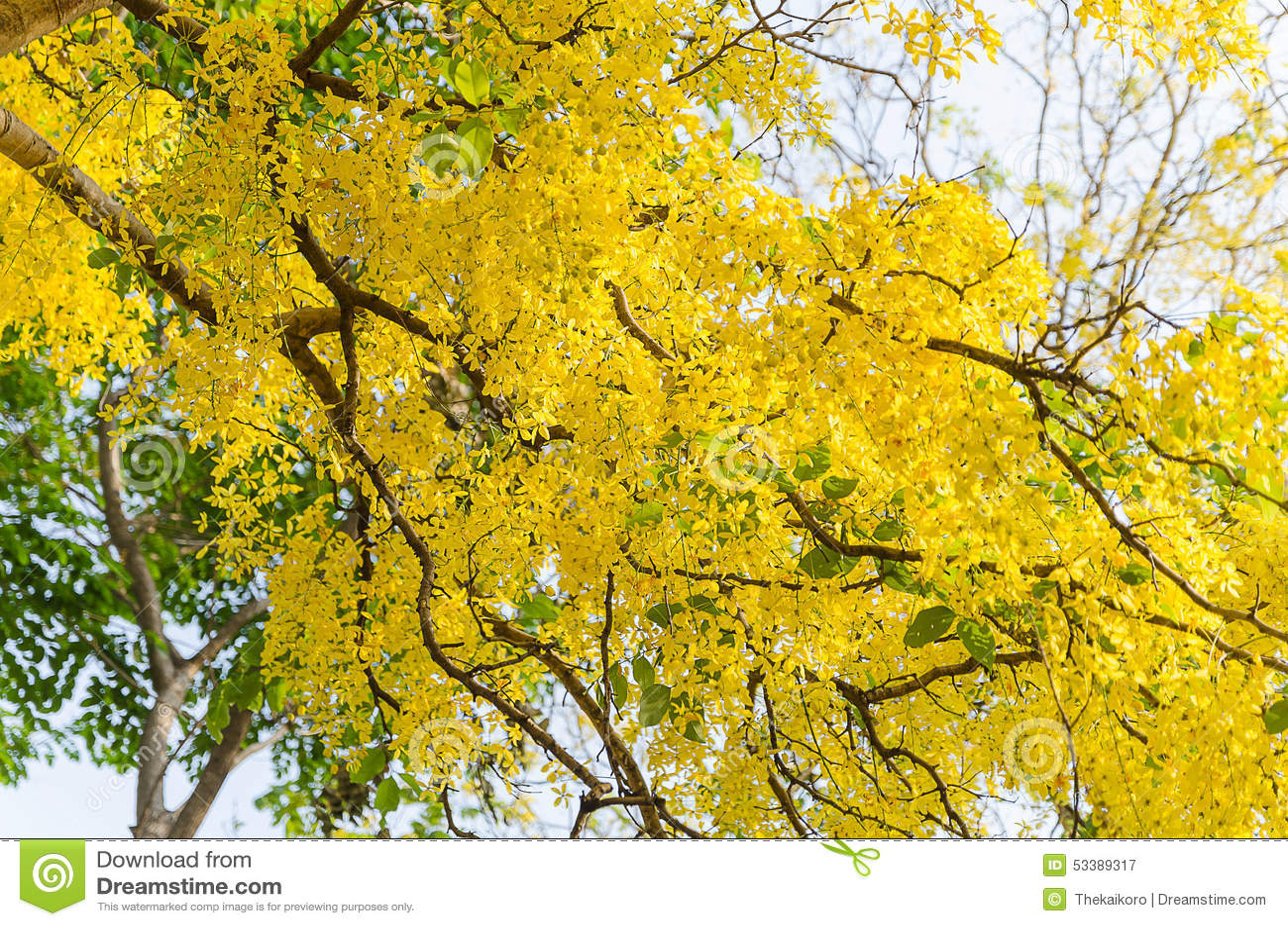 arbre de douche d 39 or belle fleur jaune ratchaphruek photo stock image 53389317. Black Bedroom Furniture Sets. Home Design Ideas