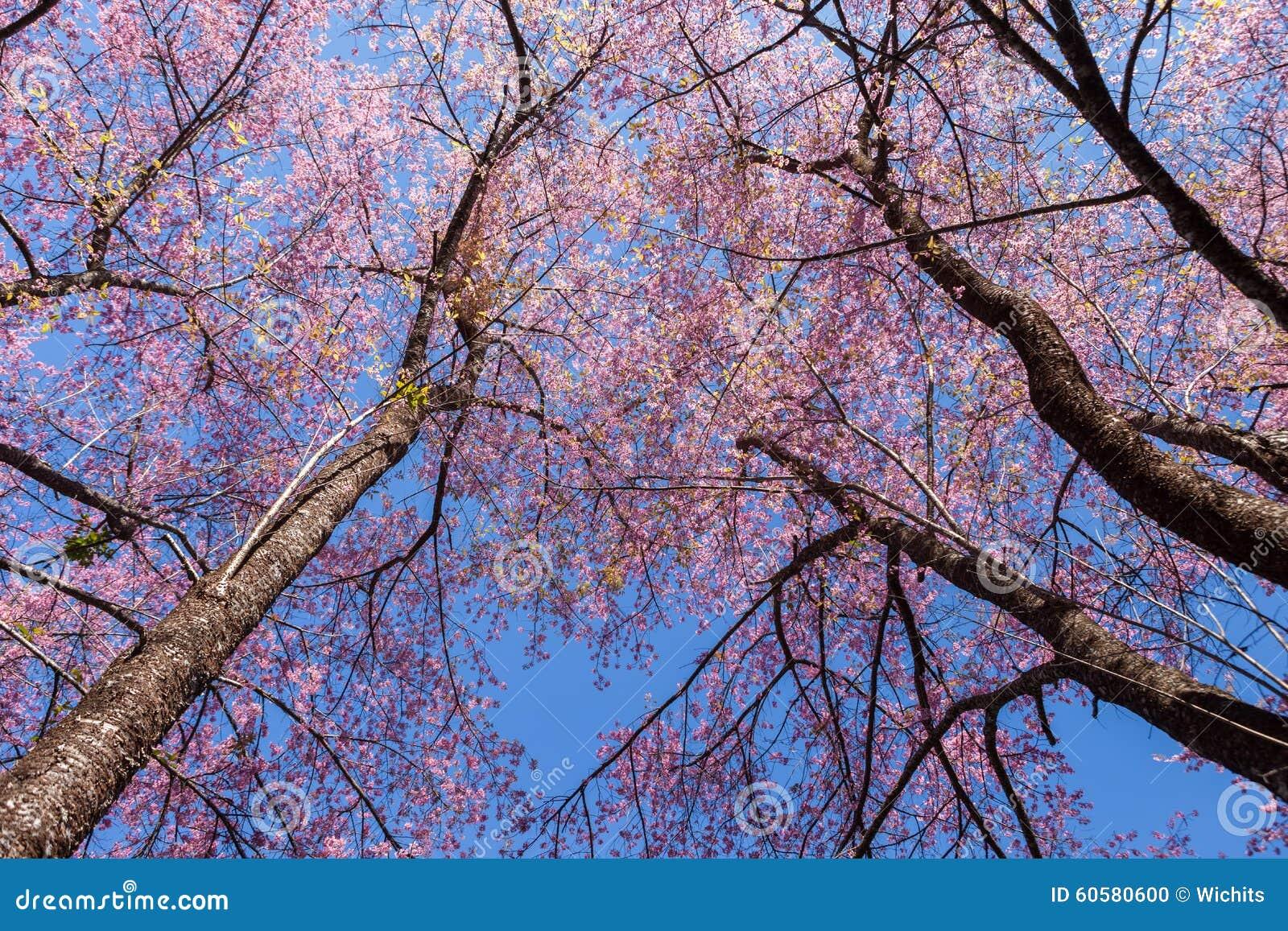 Arbre de fleurs de cerisier avec les branches sans - Arbres sans feuilles ...
