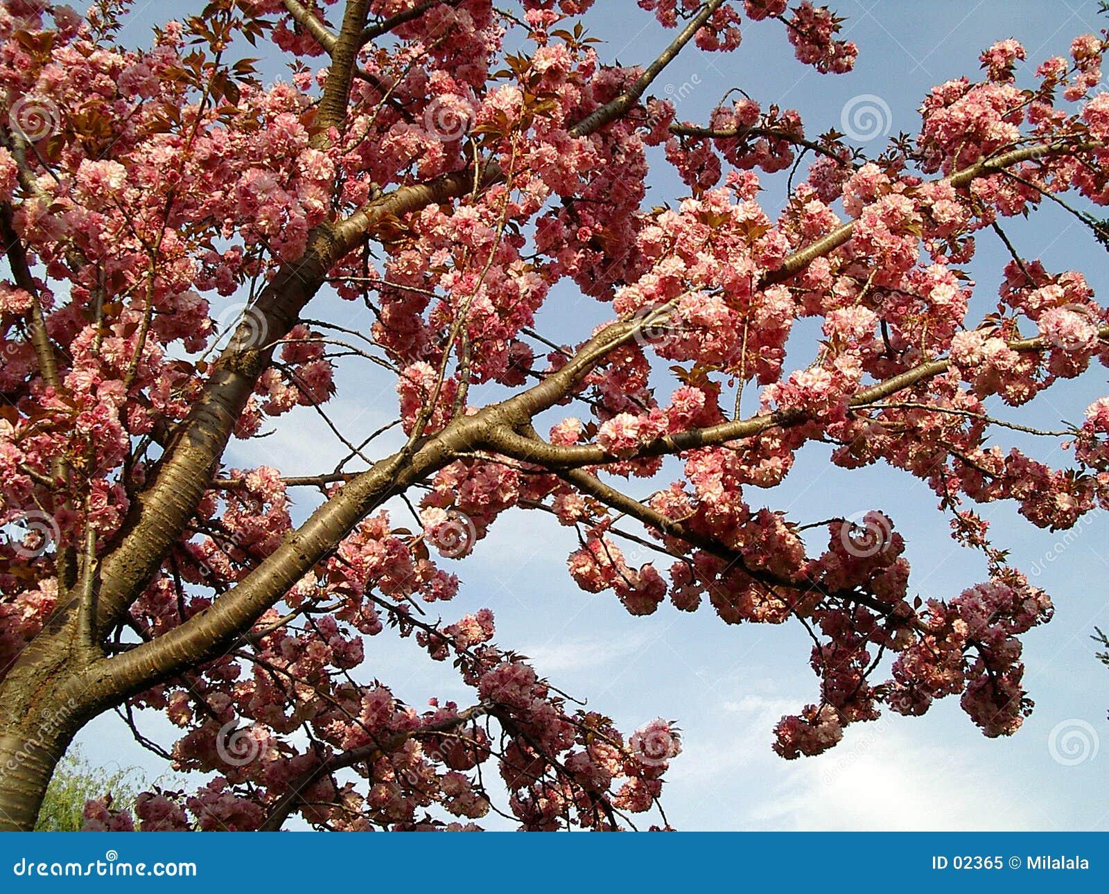 Arbre de floraison
