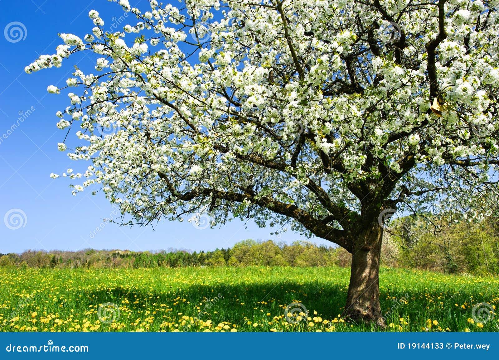 Arbre de floraison au printemps image stock image du vivacit bourgeon 19144133 - Taille du pecher au printemps ...