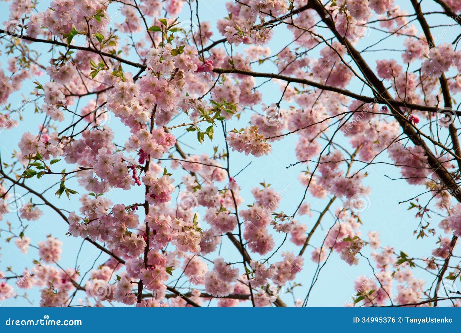arbre de floraison au printemps avec les fleurs roses image libre de droits image 34995376. Black Bedroom Furniture Sets. Home Design Ideas