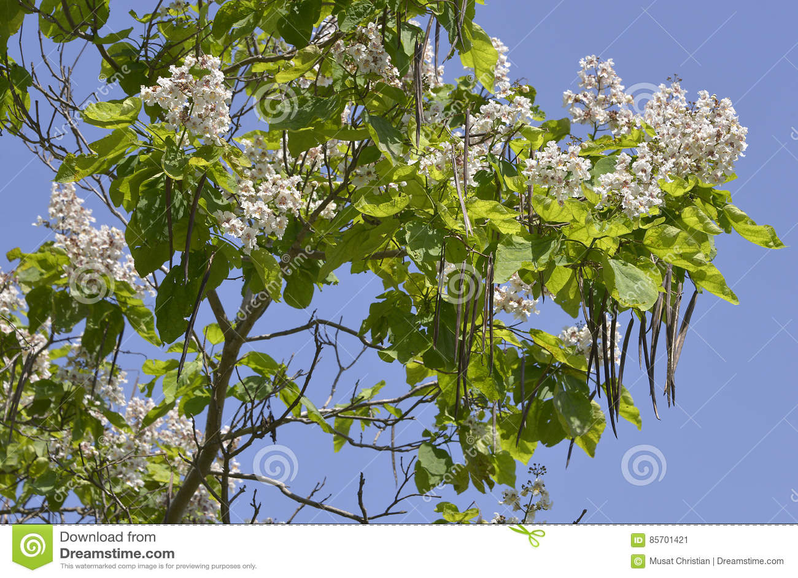 arbre de floraison de catalpa image stock image 85701421. Black Bedroom Furniture Sets. Home Design Ideas