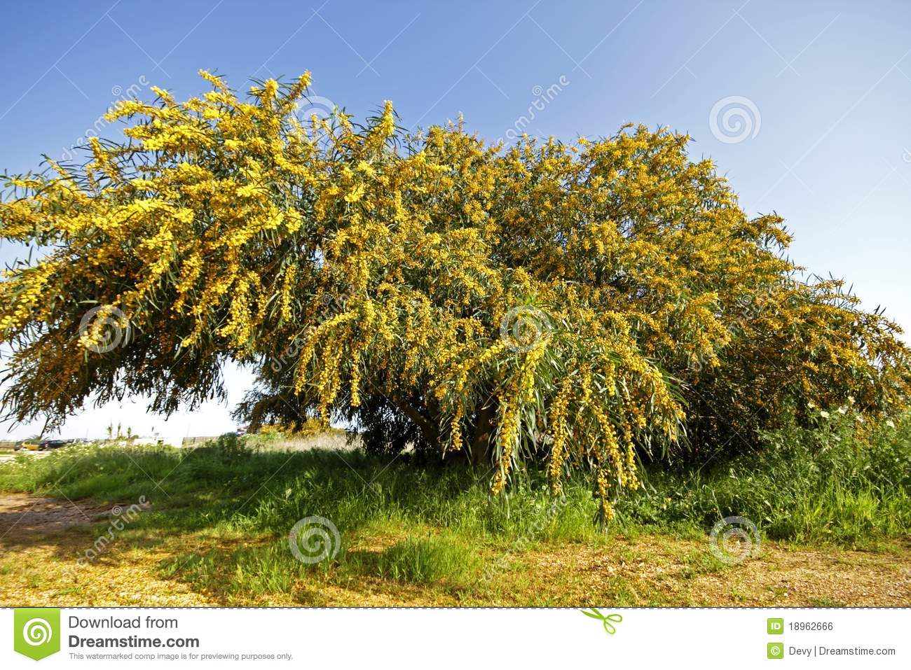 Arbre de floraison de mimosa photo stock image du fleur for Alberelli ornamentali