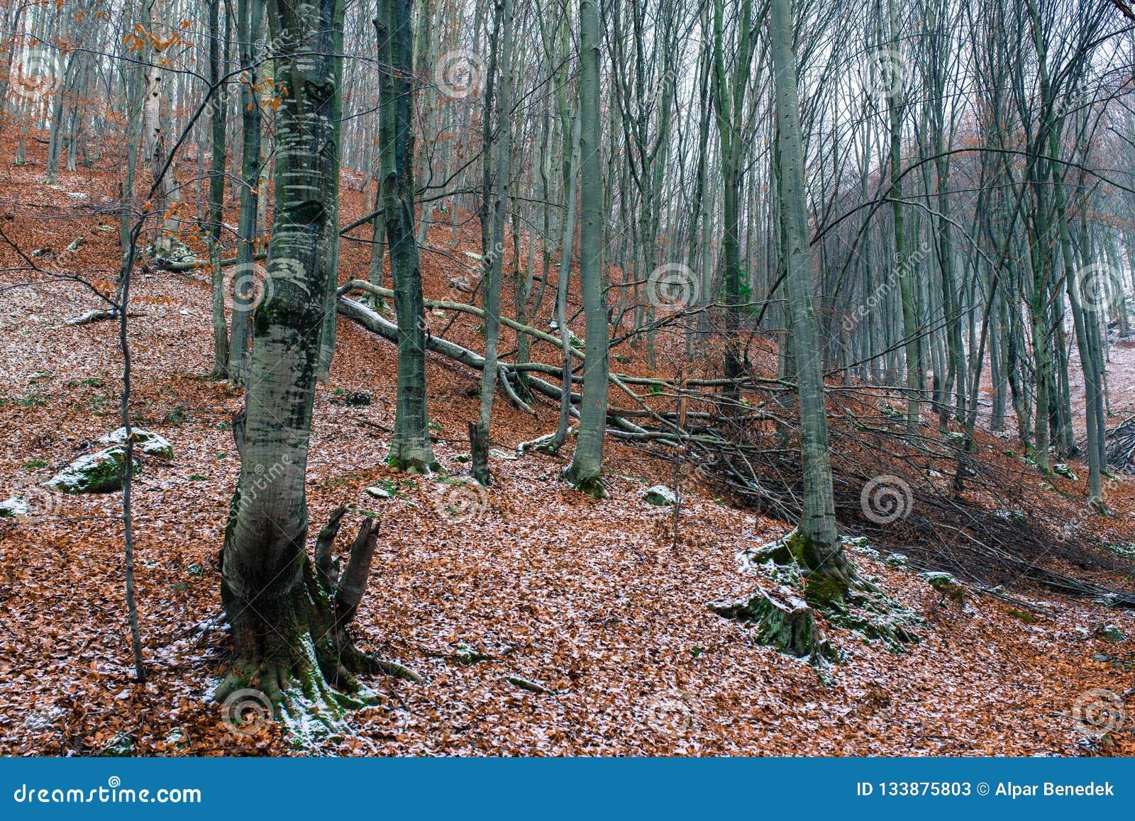 Arbre de hêtre tombé en bois à feuilles caduques à l hiver