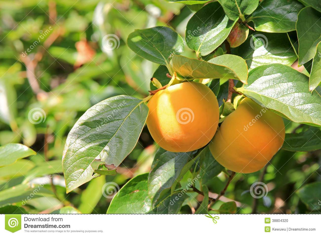 Arbre de kaki avec le fruit photo stock image 38804320 - Arbre a kaki ...