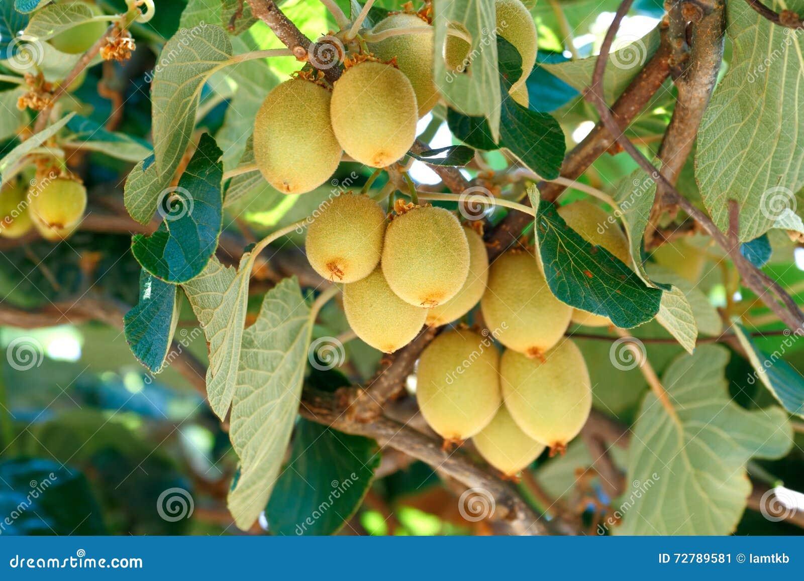 arbre de kiwi image stock. image du verger, vous, indigène - 72789581