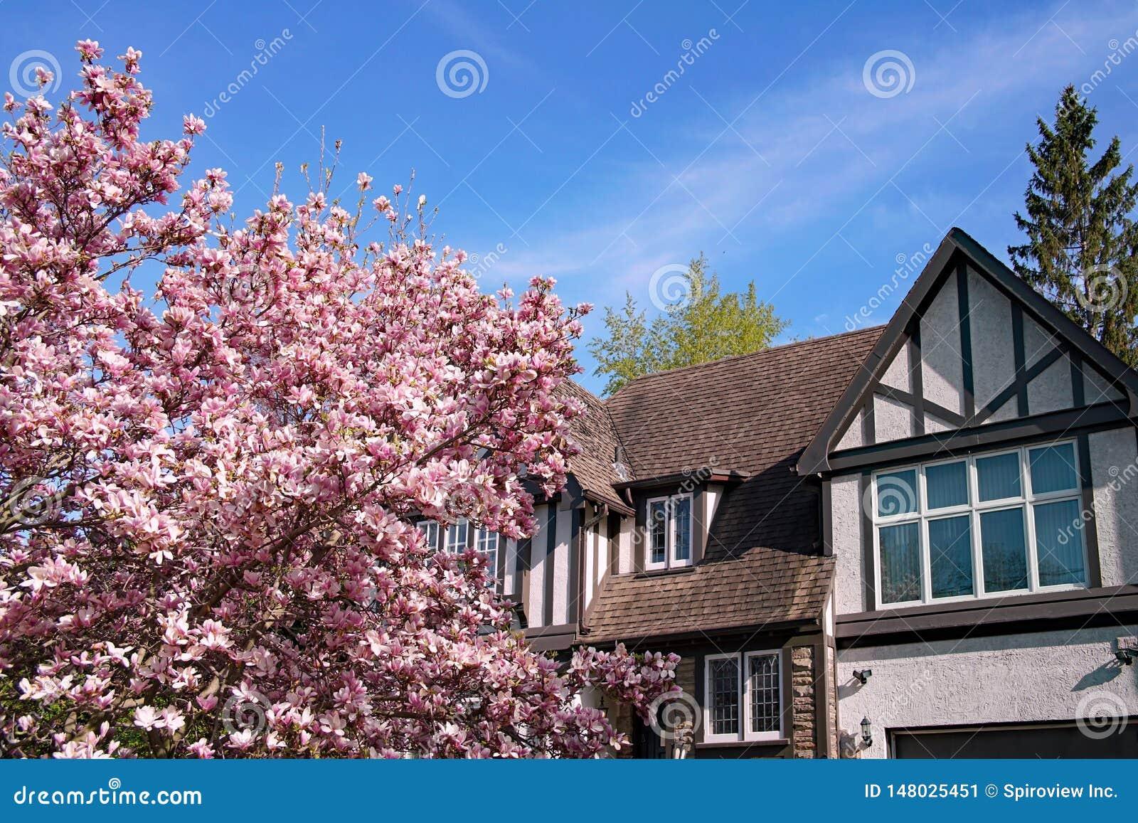 Arbre de magnolia fleurissant au printemps