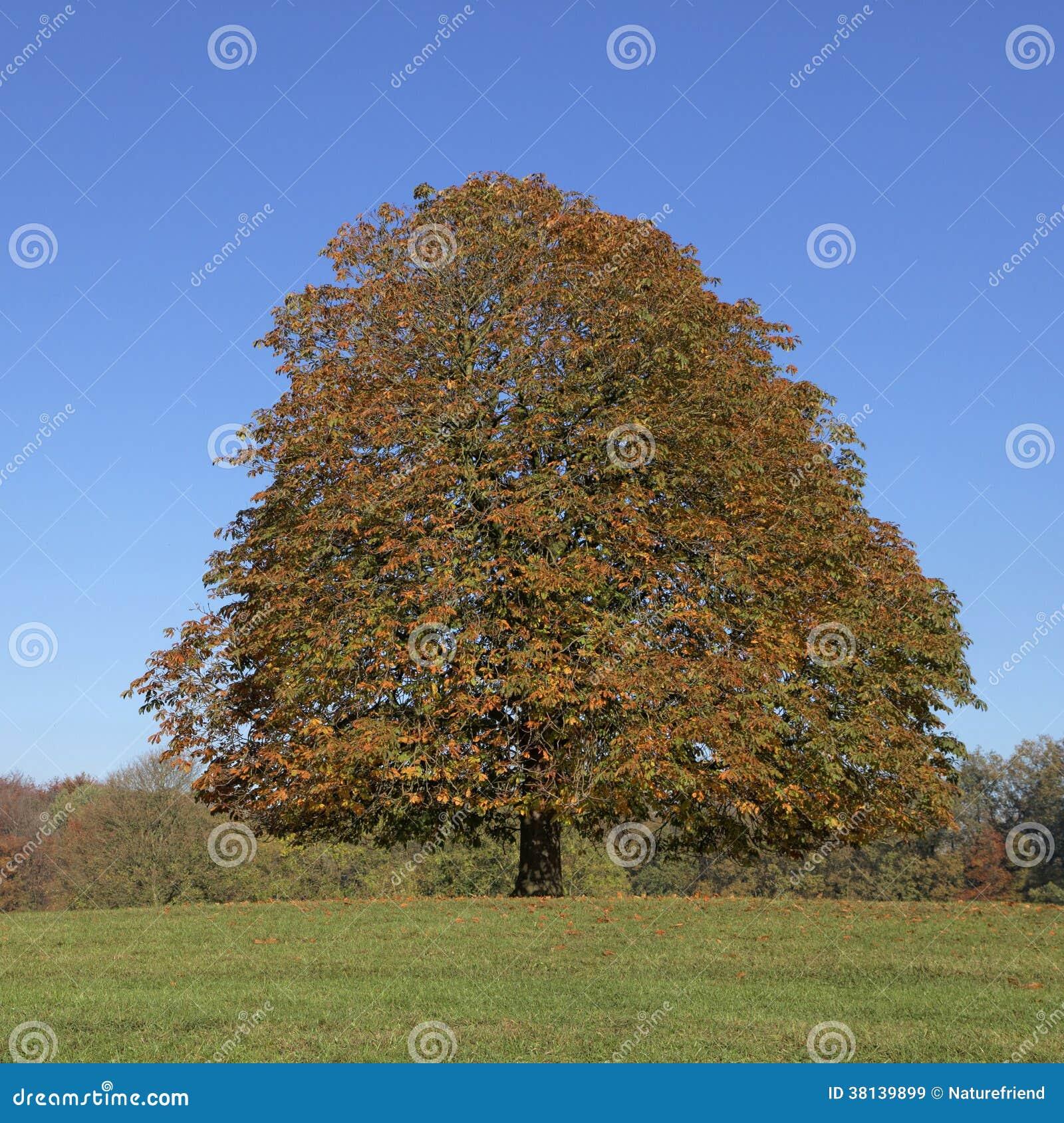 Arbre de marron d 39 arbre de marron d 39 inde hippocastanum d 39 aesculus en automne lengerich - Arbre de l avocat ...