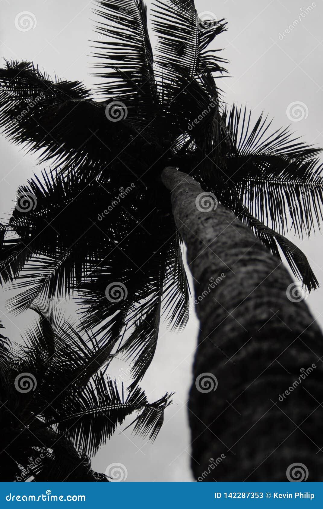 Arbre de noix de coco au Kerala