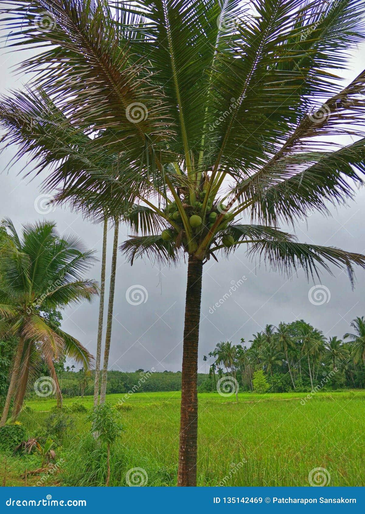 Arbre de noix de coco en Thaïlande