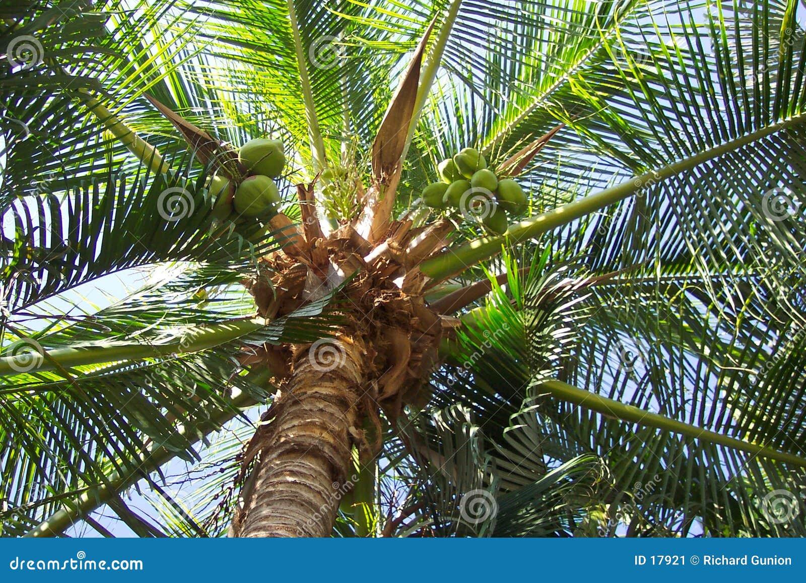 Arbre de noix de coco