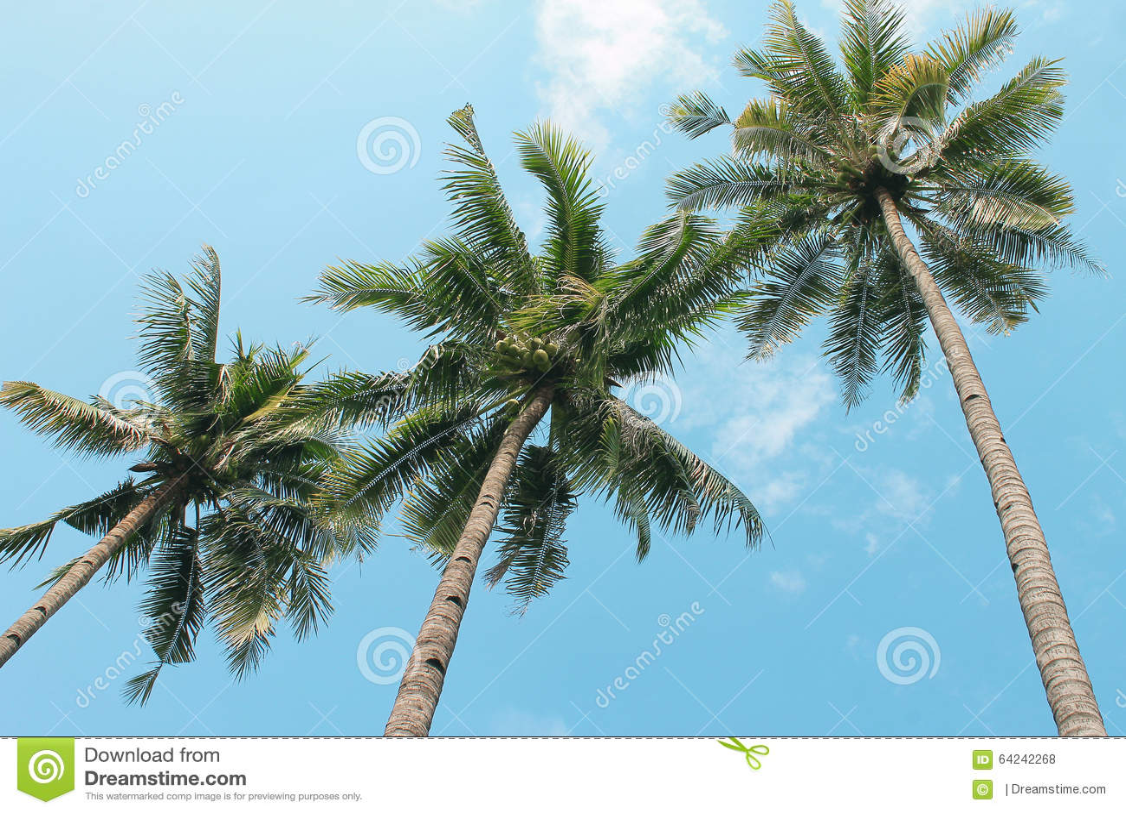 Arbre de noix de coco photo stock image 64242268 - Arbre noix de coco ...