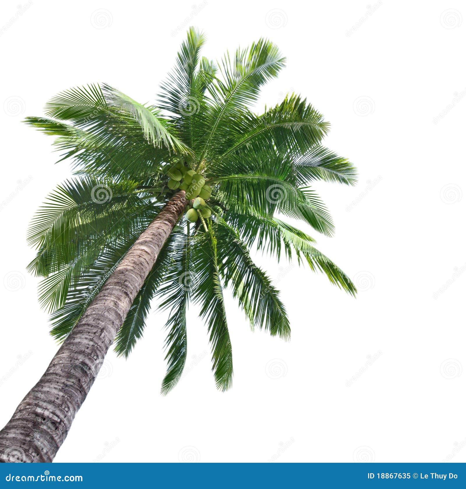 Arbre de noix de coco de paume photo libre de droits image 18867635 - Arbre noix de coco ...