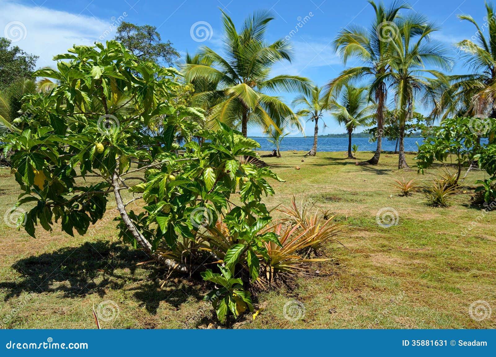 arbre de noni sur le jardin tropical image stock image du noni antilles 35881631. Black Bedroom Furniture Sets. Home Design Ideas