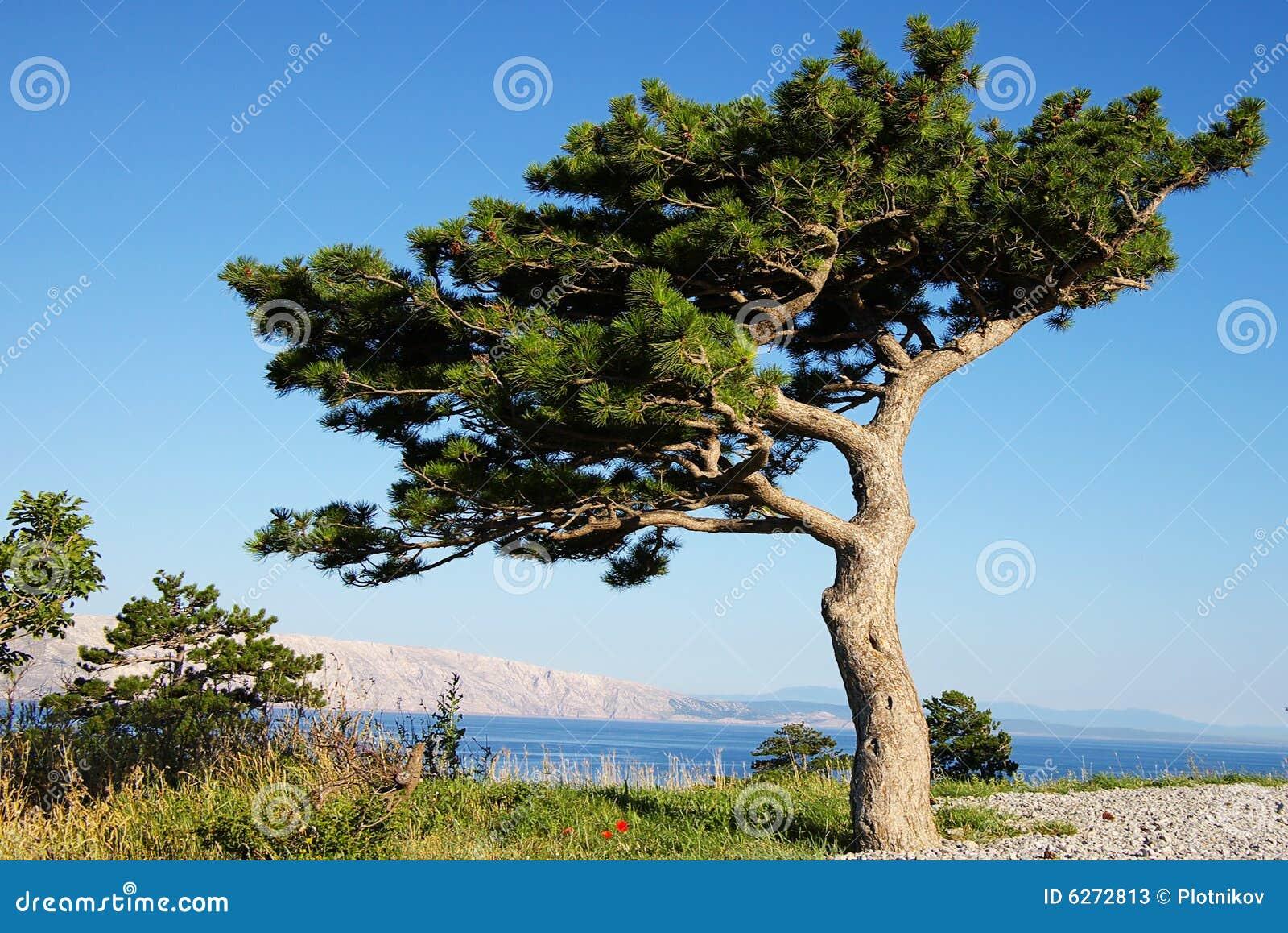arbre de pin bizarre photos stock image 6272813. Black Bedroom Furniture Sets. Home Design Ideas