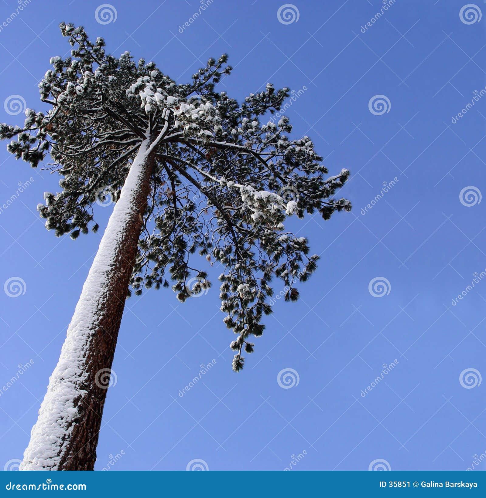 Arbre de pin isolé