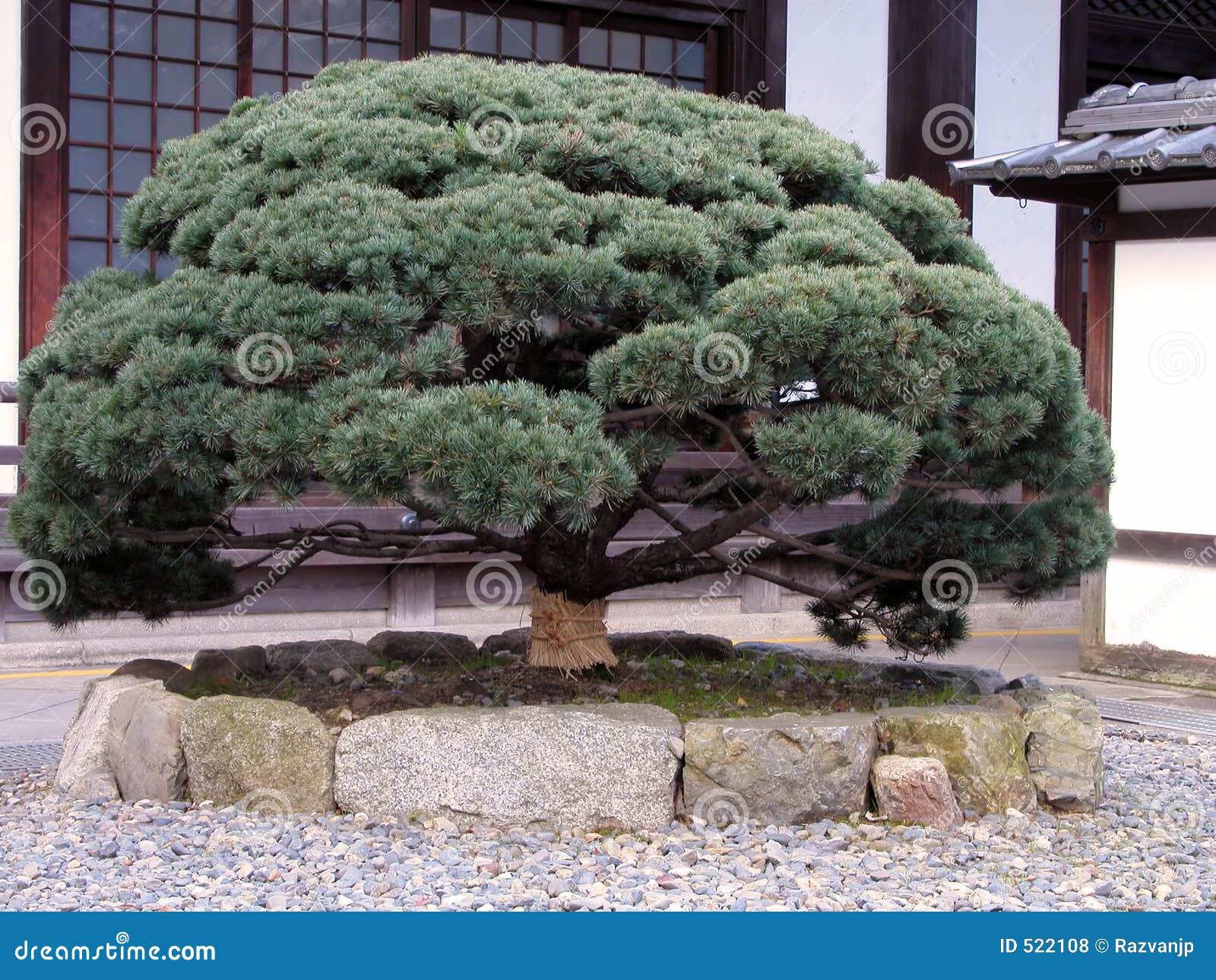arbre de pin japonais photos libres de droits image 522108. Black Bedroom Furniture Sets. Home Design Ideas