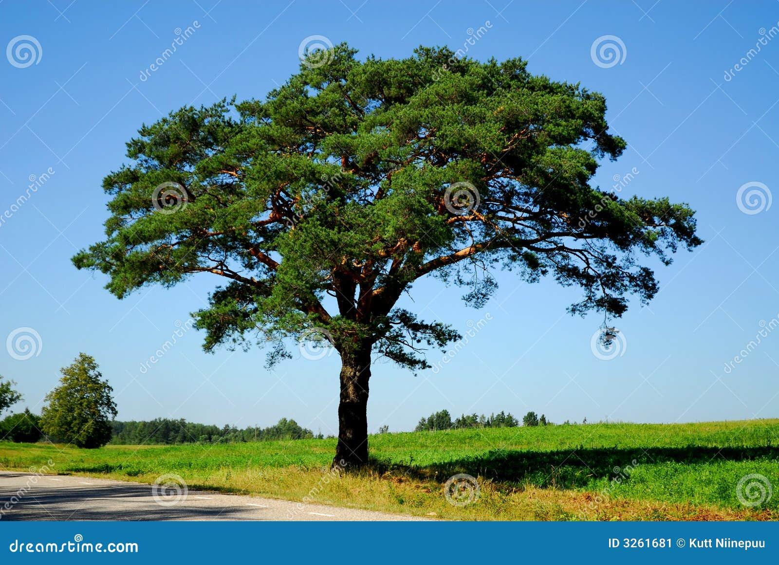 arbre de pin par la route image stock image 3261681. Black Bedroom Furniture Sets. Home Design Ideas