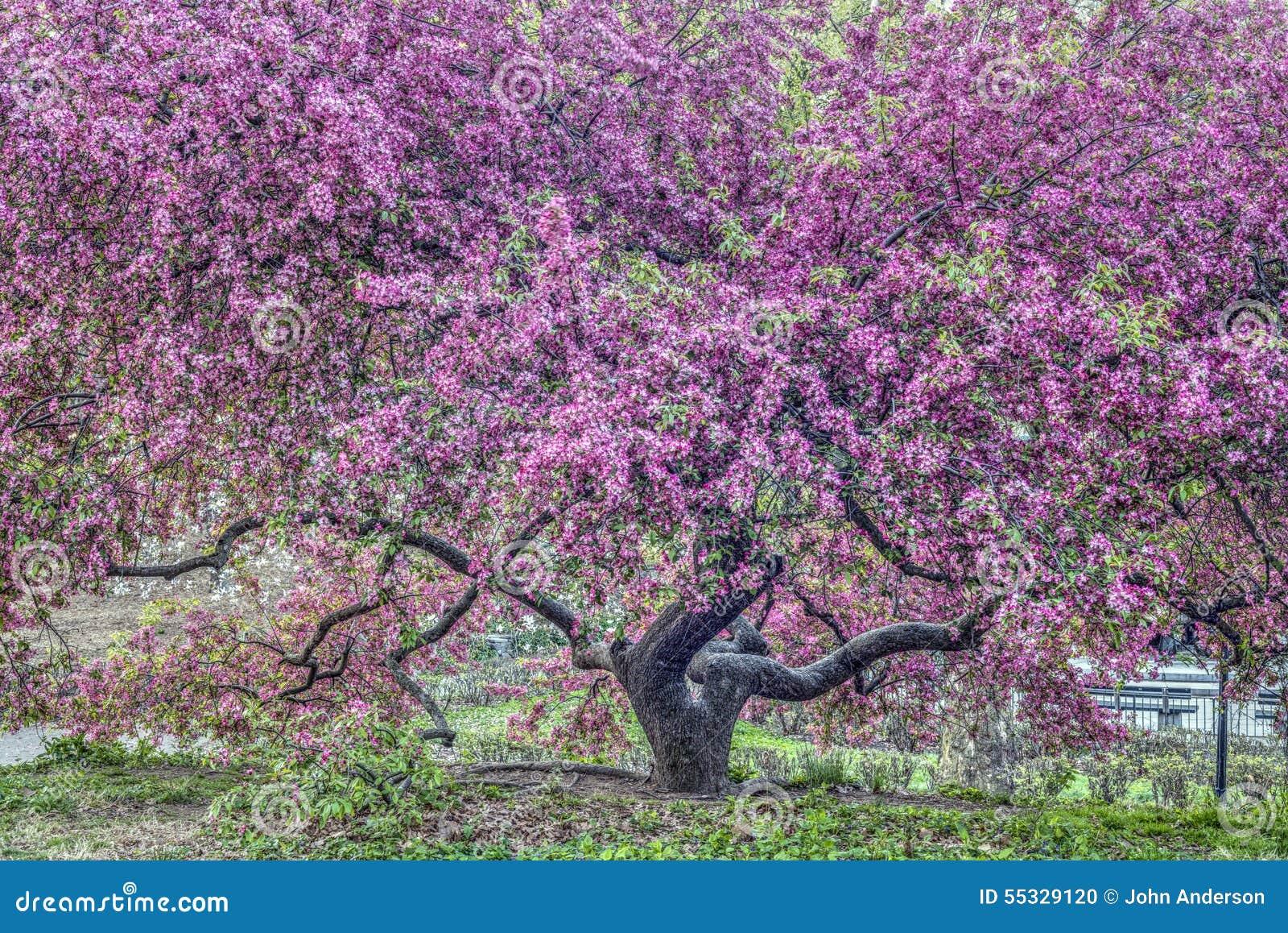 Arbre de pomme sauvage - Malus «prince pourpre» [