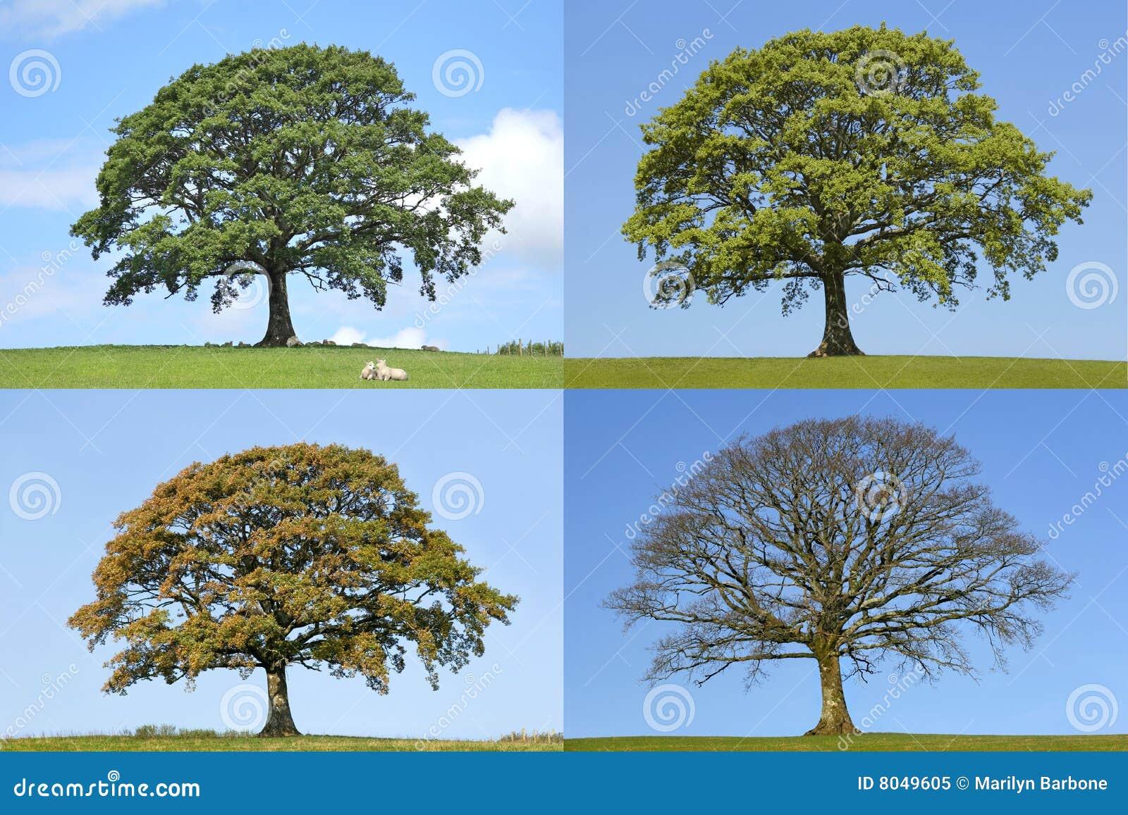 Arbre de quatre saisons de chêne
