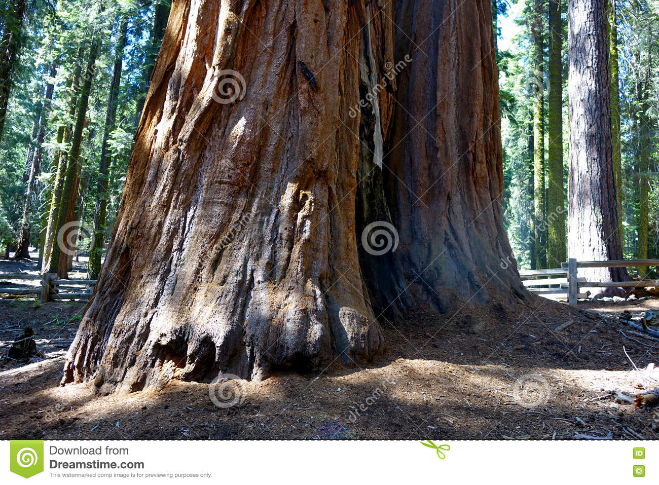arbre de séquoia géant, la californie photo stock - image du