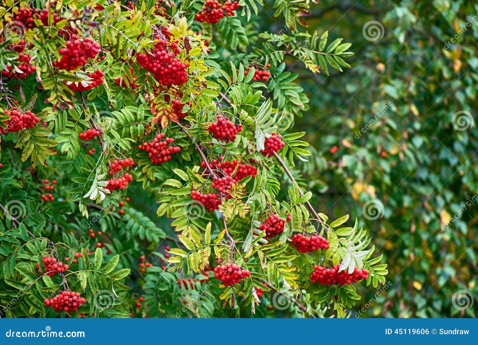 Arbre a baie rouge homeezy - Arbre feuille rouge fruit rouge ...